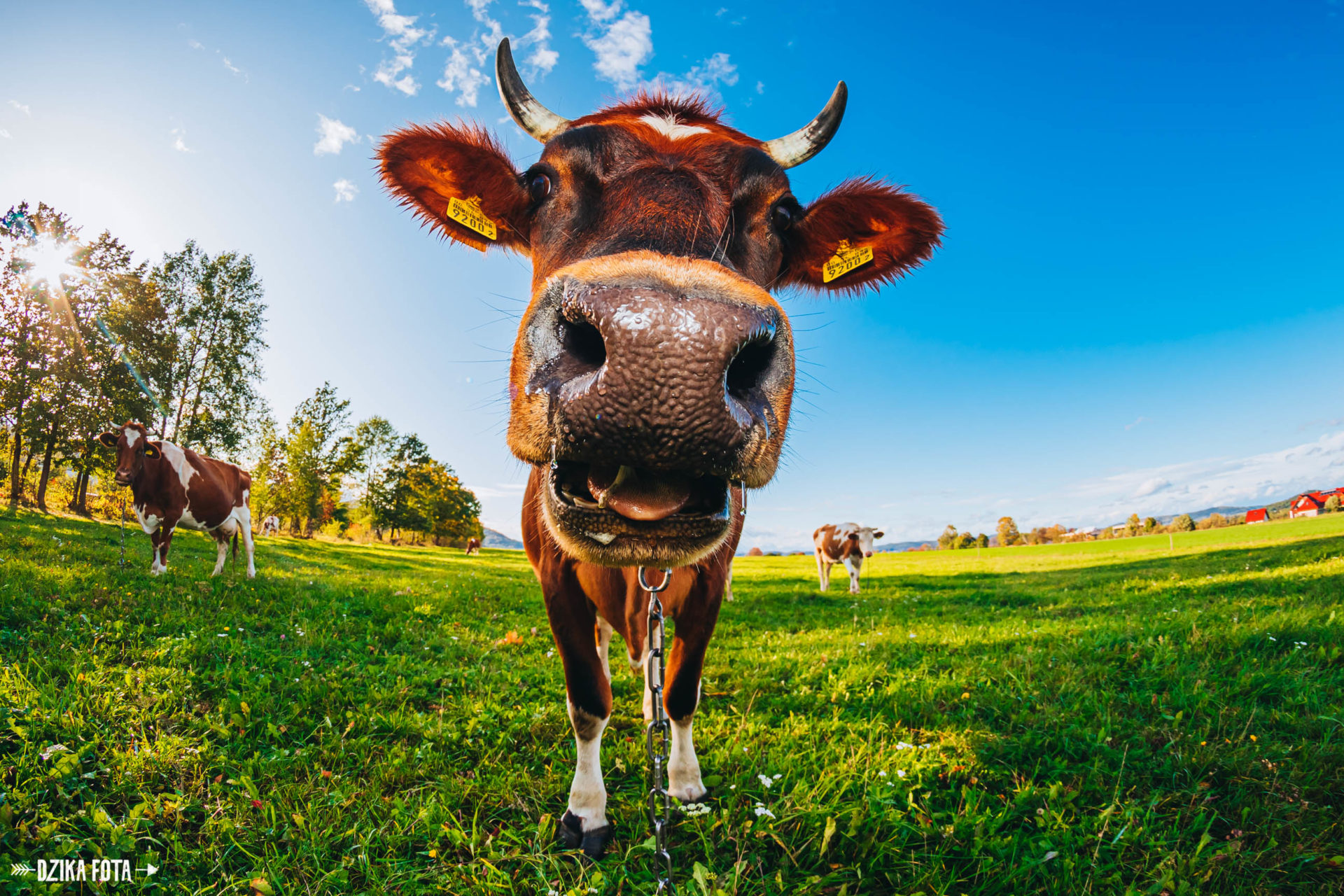 plener fotografia krowa