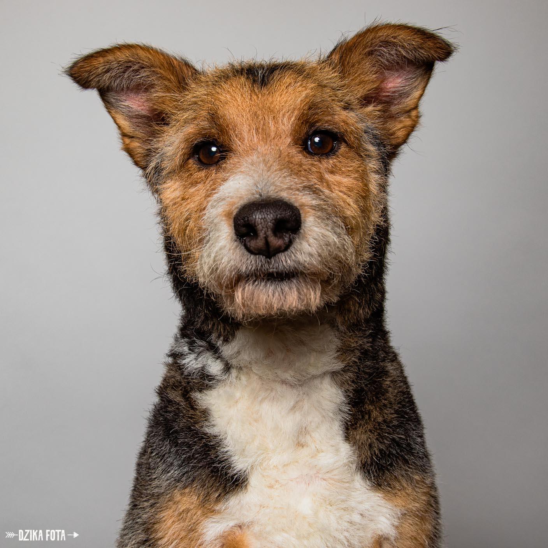 pies, dzika fota studyjna fotografia