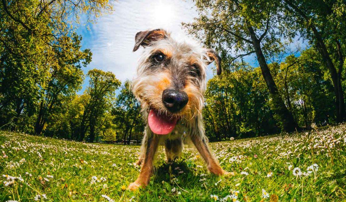 adopcje psich seniorów