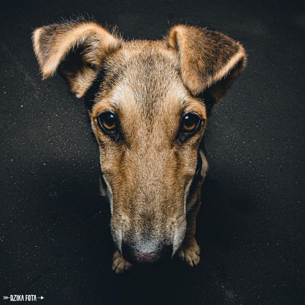 pies dzika fota poznań